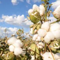 木綿ふとんの素材、綿の木